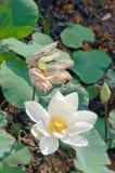 Άσπρο Lotus Στοκ φωτογραφία με δικαίωμα ελεύθερης χρήσης