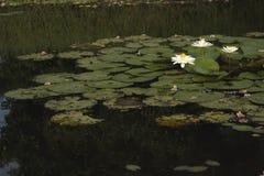 Άσπρο Lotus Στοκ Εικόνα