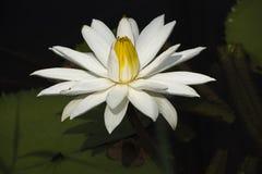 Άσπρο Lotus Στοκ Φωτογραφίες