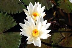 Άσπρο Lotus στοκ εικόνες