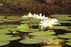 Άσπρο Lotus Nymphaea στοκ εικόνες
