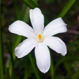 Άσπρο lucile δόξα--ο-χιόνι ` s, luciliae chionodoxa, που ανθίζει την άνοιξη, μακρο, εκλεκτική εστίαση, ρηχό DOF στοκ φωτογραφίες με δικαίωμα ελεύθερης χρήσης