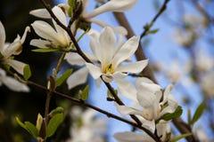 Άσπρο Magnolia ανθίζει στις ακτίνες του ήλιου μια θερινή ημέρα Στοκ Φωτογραφίες