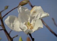 Άσπρο magnolia Στοκ Φωτογραφία