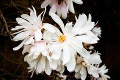 Άσπρο magnolia Στοκ Εικόνες