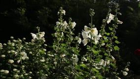 Άσπρο mallow λουλούδι στον κήπο φιλμ μικρού μήκους