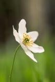 Άσπρο nemorosa anemone, ενιαίο λουλούδι Στοκ φωτογραφία με δικαίωμα ελεύθερης χρήσης