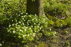 Άσπρο nemorosa Anemone λουλουδιών άνοιξη δασικό κοντά στο δέντρο Στοκ Εικόνα