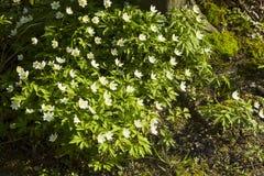 Άσπρο nemorosa Anemone λουλουδιών άνοιξη δασικό Στοκ φωτογραφία με δικαίωμα ελεύθερης χρήσης
