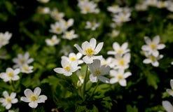 Άσπρο nemorosa Anemone λουλουδιών άνοιξη στην πράσινη χλόη Στοκ Φωτογραφίες