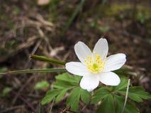 Άσπρο nemorosa anemone Στοκ Φωτογραφία