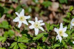 Άσπρο nemorosa Anemone windflower Στοκ Φωτογραφίες