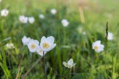 Άσπρο nemorosa Anemones Anemone λουλουδιών στα πλαίσια ενός πράσινου λιβαδιού Στοκ Εικόνες