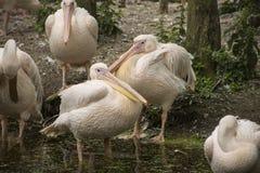 Άσπρο onocrotalus Pelecanus πελεκάνων γνωστό επίσης ως ανατολικό Wh Στοκ φωτογραφία με δικαίωμα ελεύθερης χρήσης