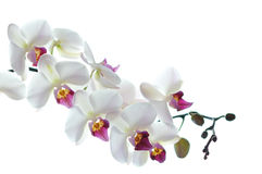 Άσπρο orchid λουλούδι που απομονώνεται Στοκ Εικόνες