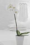 Άσπρο orchid στο δοχείο Στοκ φωτογραφία με δικαίωμα ελεύθερης χρήσης