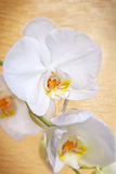 Άσπρο orchid Στοκ Φωτογραφίες
