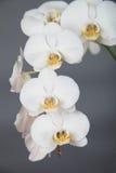 Άσπρο orchid στοκ εικόνες