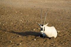 Άσπρο oryx Στοκ Εικόνες