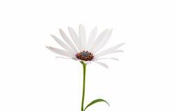 Άσπρο Osteospermum Daisy ή λουλούδι της Daisy ακρωτηρίων Στοκ Εικόνες