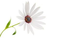Άσπρο Osteospermum Daisy ή λουλούδι της Daisy ακρωτηρίων Στοκ Φωτογραφία