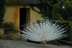 Άσπρο peacock με τα φτερά στην επίδειξη στοκ εικόνες