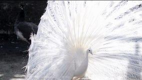 Άσπρο peacock στην εποχή ζευγαρώματος απόθεμα βίντεο
