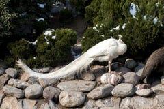 Άσπρο peacock Στοκ εικόνες με δικαίωμα ελεύθερης χρήσης