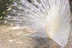 Άσπρο peacock Στοκ φωτογραφία με δικαίωμα ελεύθερης χρήσης