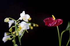 Άσπρο phalaenopsis και κόκκινα anthurium λουλούδια πέρα από το μαύρο υπόβαθρο Στοκ φωτογραφία με δικαίωμα ελεύθερης χρήσης