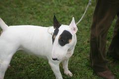Άσπρο pitbull Στοκ εικόνα με δικαίωμα ελεύθερης χρήσης