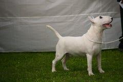 Άσπρο pitbull Στοκ φωτογραφίες με δικαίωμα ελεύθερης χρήσης