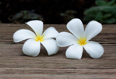 Άσπρο plumeria ή alba ή λουλούδι Leelawadee Στοκ Φωτογραφία