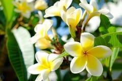 Άσπρο plumeria ή frangipani Γλυκιά μυρωδιά από τα άσπρα λουλούδια Plumeria στον κήπο Κινηματογράφηση σε πρώτο πλάνο Frangipani Στοκ Εικόνες