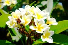 Άσπρο plumeria ή frangipani Γλυκιά μυρωδιά από τα άσπρα λουλούδια Plumeria στον κήπο Κινηματογράφηση σε πρώτο πλάνο Frangipani Στοκ Φωτογραφία