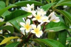 Άσπρο plumeria ή frangipani Γλυκιά μυρωδιά από τα άσπρα λουλούδια Plumeria στον κήπο Κινηματογράφηση σε πρώτο πλάνο Frangipani Στοκ φωτογραφίες με δικαίωμα ελεύθερης χρήσης
