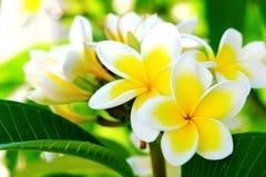 Άσπρο plumeria ή frangipani Γλυκιά μυρωδιά από τα άσπρα λουλούδια Plumeria στον κήπο Κινηματογράφηση σε πρώτο πλάνο Frangipani Στοκ Φωτογραφίες