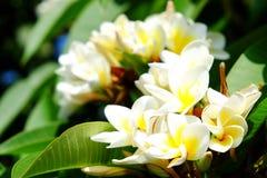Άσπρο plumeria ή frangipani Γλυκιά μυρωδιά από τα άσπρα λουλούδια Plumeria στον κήπο Κινηματογράφηση σε πρώτο πλάνο Frangipani Στοκ εικόνα με δικαίωμα ελεύθερης χρήσης