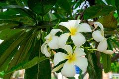 Άσπρο plumeria ή frangipani Γλυκιά μυρωδιά από τα άσπρα λουλούδια Plumeria στον κήπο Στοκ εικόνα με δικαίωμα ελεύθερης χρήσης