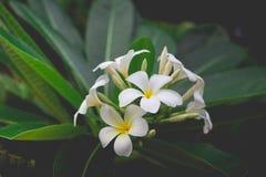 Άσπρο plumeria ή frangipani Γλυκιά μυρωδιά από άσπρο Plumeria Στοκ φωτογραφίες με δικαίωμα ελεύθερης χρήσης