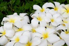 Άσπρο Plumeria ή Frangipani στο πράσινο Pinto φυστίκι Στοκ Φωτογραφίες