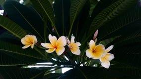 Άσπρο plumeria ή frangipani Στοκ Εικόνα