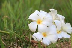 Άσπρο Plumeria ανθίζει όμορφο Στοκ εικόνα με δικαίωμα ελεύθερης χρήσης