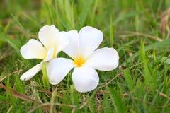 Άσπρο Plumeria ανθίζει όμορφο Στοκ εικόνες με δικαίωμα ελεύθερης χρήσης