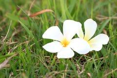 Άσπρο Plumeria ανθίζει όμορφο Στοκ Εικόνες