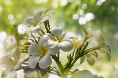 Άσπρο plumeria δεσμών λουλουδιών ή frangipany στο δέντρο bokeh για το SUMM Στοκ φωτογραφίες με δικαίωμα ελεύθερης χρήσης