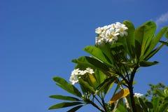 Άσπρο plumeria ενάντια σε έναν μπλε ουρανό Στοκ Φωτογραφία