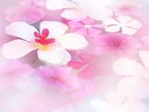 Άσπρο plumeria και ρόδινο λουλούδι που επιπλέουν στο νερό, έννοια SPA Στοκ εικόνα με δικαίωμα ελεύθερης χρήσης