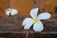 Άσπρο plumeria λουλουδιών Στοκ Εικόνες