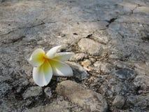 Άσπρο Plumeria που βρίσκεται στο γκρίζο έδαφος ναών Στοκ Φωτογραφία